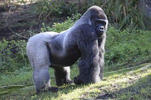 gorilla muscles